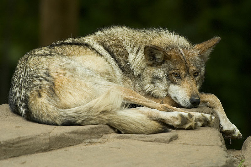 800px-Mexican_wolf_lounging